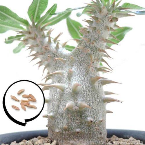 種子 パキポディウム ホロンベンセ