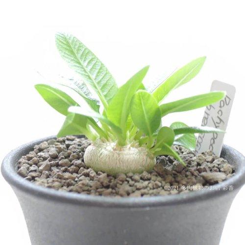 パキポディウム レウコキサンサム 白花恵比寿笑い