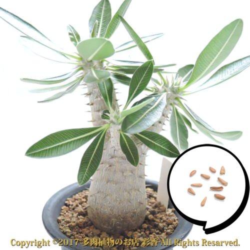 種子 パキポディウム エブレネウム