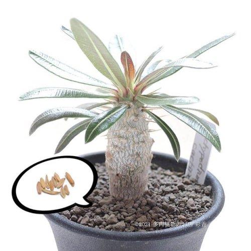 種子 パキポディウム カクチペス