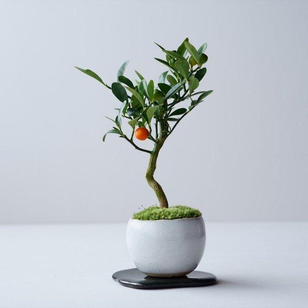 キンズ(金豆) no.016