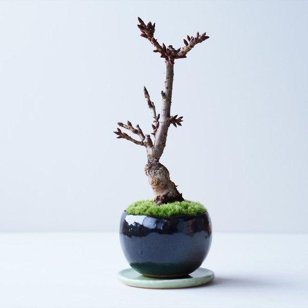 旭山桜 no.009