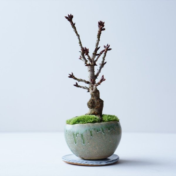 旭山桜 no.010