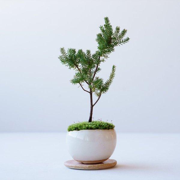 バレリーツリー no.014