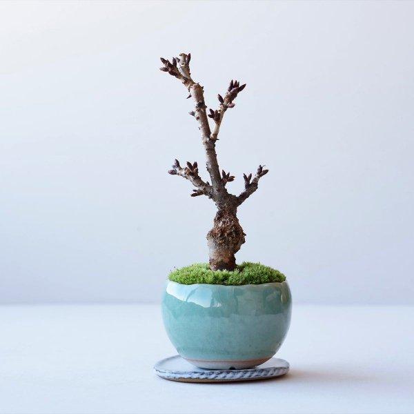 旭山桜 no.012