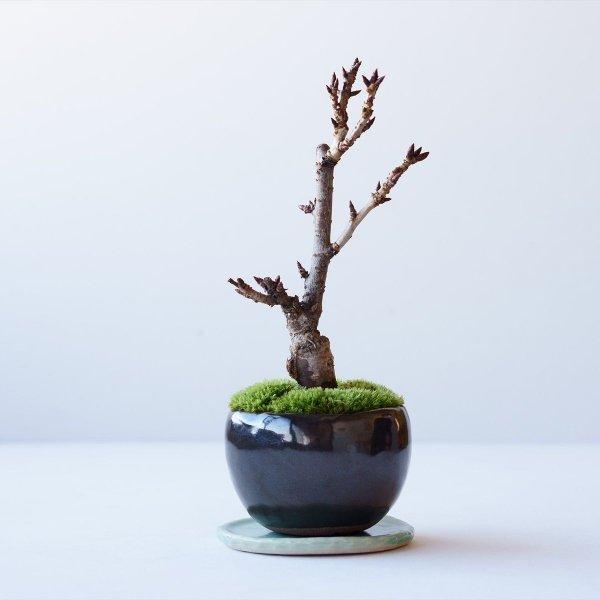 旭山桜 no.015