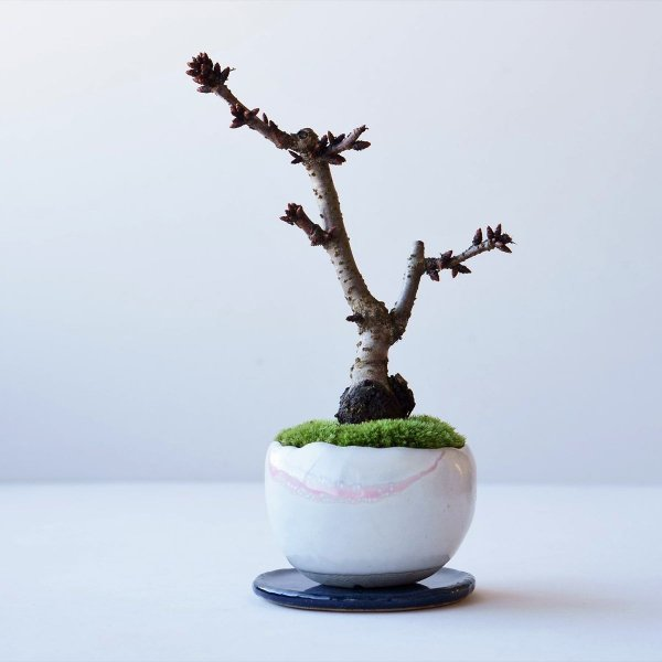 旭山桜 no.016