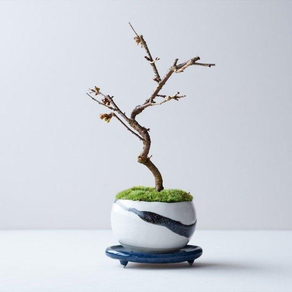 信濃桜 no.001