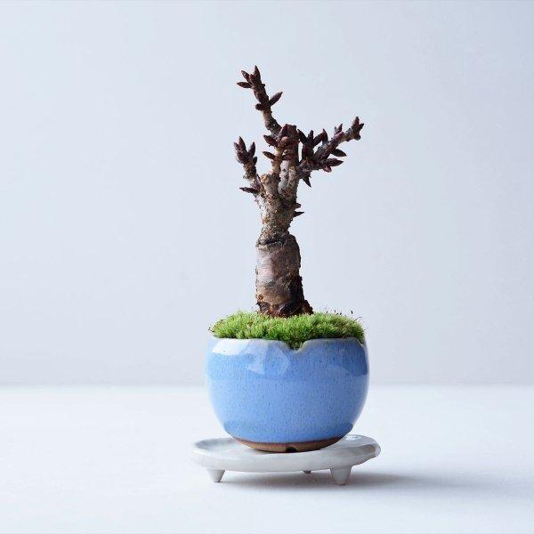 旭山桜 no.002