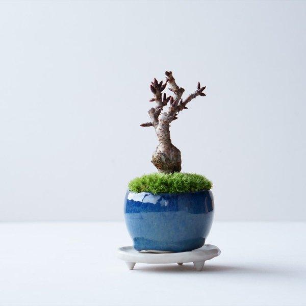 旭山桜 no.004