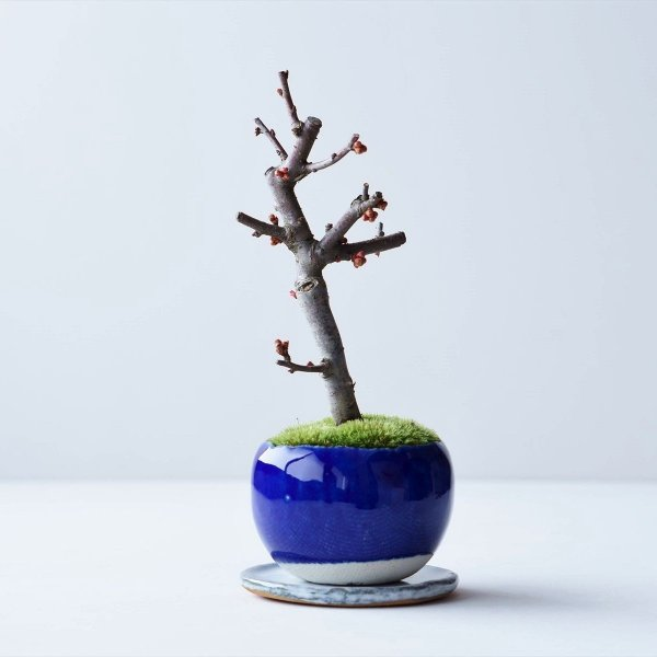 木瓜:白寿 no.001