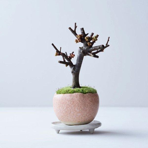 木瓜:芳寿の誉 no.001