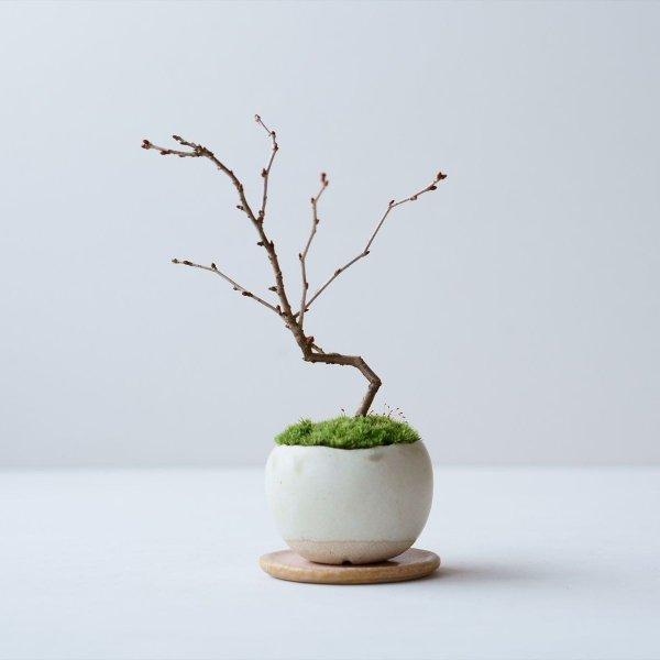 雲竜富士桜 no.003