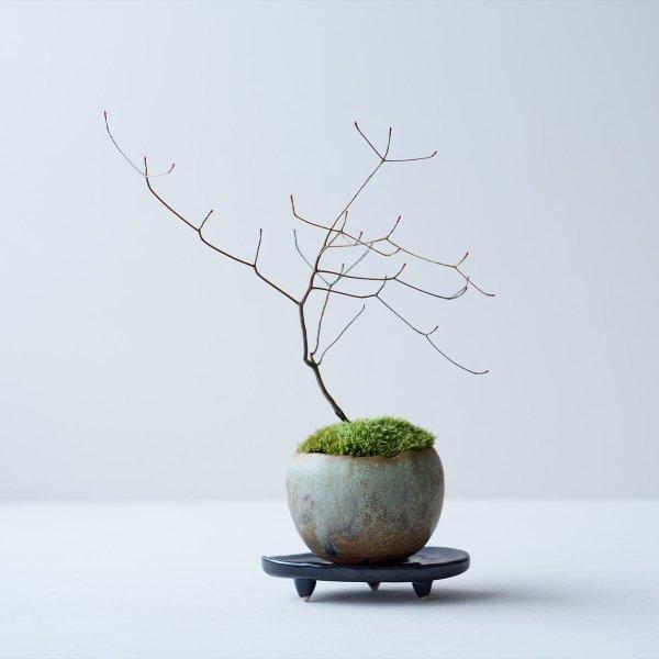 ヤマドウタン no.013