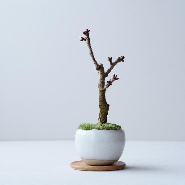旭山桜 no.006