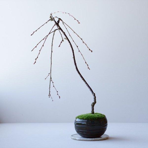 しだれ桜 no.002