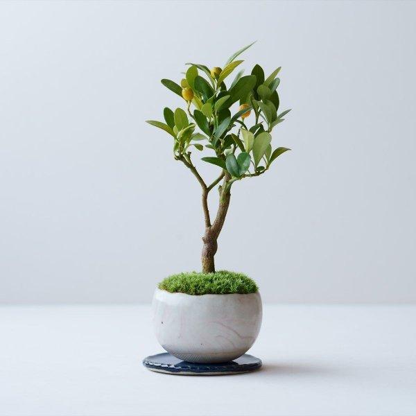 キンズ(金豆) no.002