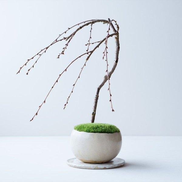 しだれ桜 no.003
