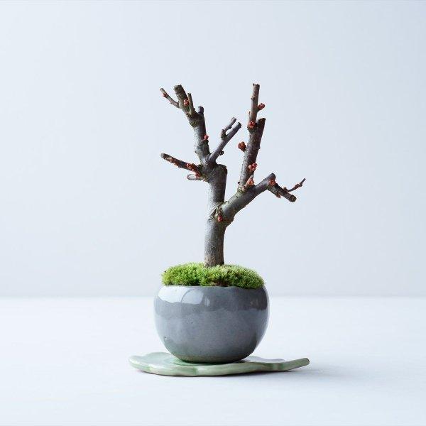木瓜:白寿 no.002