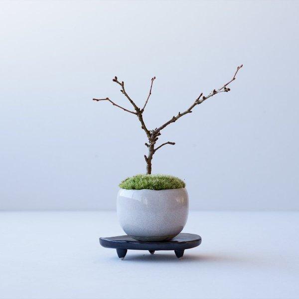 雲竜富士桜 no.014