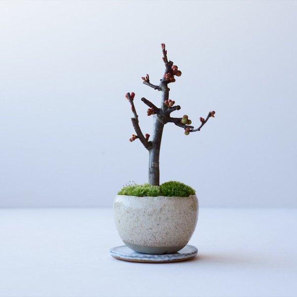 木瓜:芳寿の誉 no.002