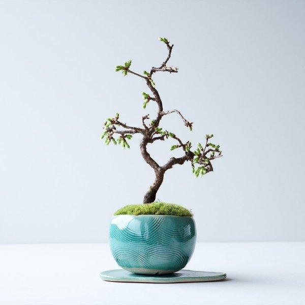緑桜 no.001