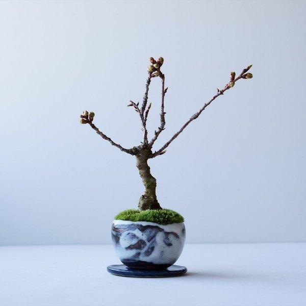 旭山桜 no.001
