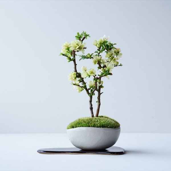 長寿梅:白花 no.001