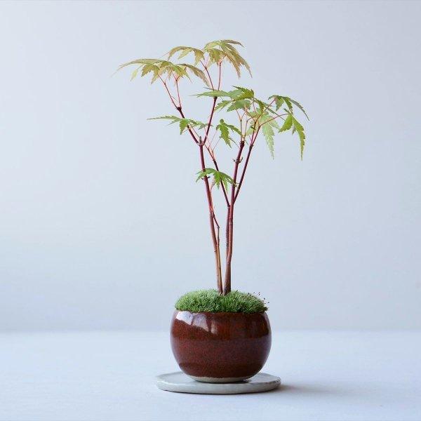 ヤマモミジの林 no.002