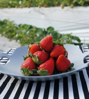 ちくごへいやのいちご エコフォーム特別栽培 さがほのか 1箱1200〜1280g(1 パック12〜14個 300〜320g×4)  ※クール配送費込み