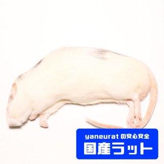 【国産】冷凍アダルトラットL- 240g-300g-