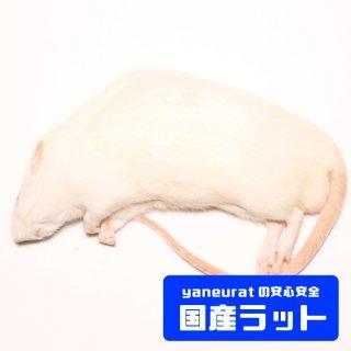 【国産】冷凍アダルトラットLL- 300g-400g-