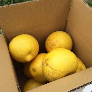 ※予約商品【ご家庭用】農薬をまいていない土佐文旦1箱(3kg)