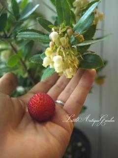 姫イチゴの木アルブツス・ウネド「コンパクタ」日陰でも可愛い果樹♡