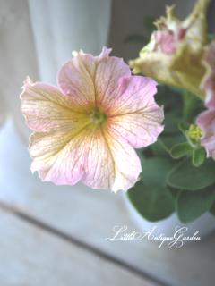 ペチュニア「ドルチェ・フランベ」<br>フリルのような花びら