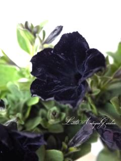 ペチュニア「ブラックチェリー」<br>シックな黒いベルベットのよう!