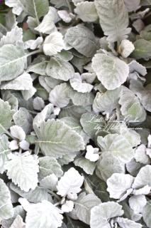 シロタエギク「ニュールック」<br>毎年大人気!もこもこ丸葉が可愛い