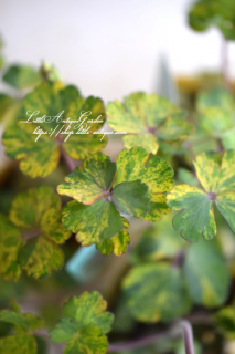 斑入りオダマキ<br>「レクレチャムゴールド」<br>茎までブルーの美しい品種!