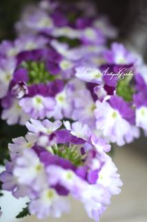 宿根バーベナ・ラナイ「ツイストバイオレット」<br>いい香り♡暑さに強く育てやすい