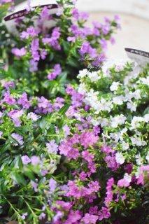 小花が可愛いクフェアアソート<br>暑くてもぐんぐん育つ♡