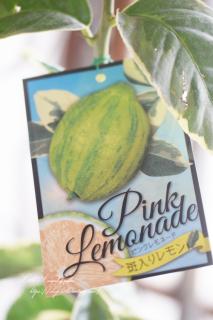 レモン「ピンクレモネード」斑入り葉が美しい
