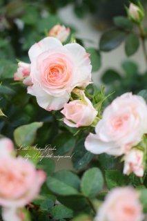 大輪ミニバラ<br>「ラブリーモア」<br>枝垂れ咲く♡銘花ピエールのような花