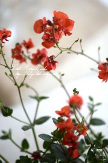 ディアスシア「ダーラ・オレンジ」<br>ふんわり可愛い小花