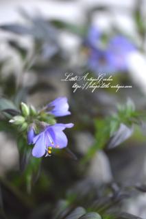 ポレモニウム「パープルレイン」<br>黒葉パープルの花