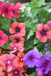 ニチニチソウ「タトゥー」<br>妖艶な大人カラー♡