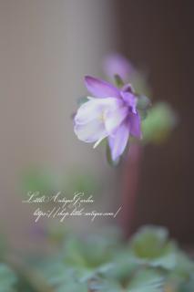 オダマキ「2色咲」<br>ホワイトとパープルのツートンの花びら