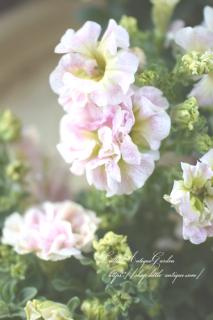 八重咲ペチュニア「フェアリーブーケ」<br>アンティークピンク