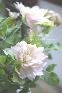 クレマチス「春姫」4寸<br>アンティークカラーが素敵♡