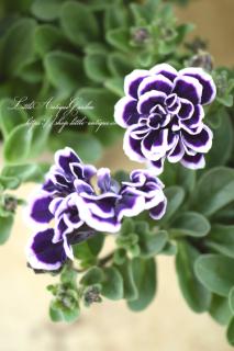 ペチュニア「花衣〜藍染〜」<br>夏に嬉しいブルー