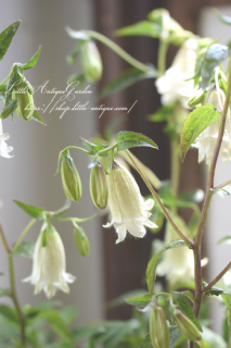 八重咲きホタルブクロ カンパニュラ